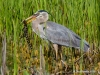 Great Blue Heron 46