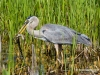 Great Blue Heron 47