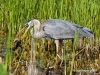 Great Blue Heron 48