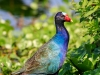 Purple Gallinule 02