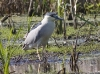 Black Crowned Night Heron 02