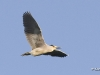 Black Crowned Night Heron 04