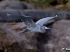 Little Blue Heron 01