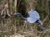 Little Blue Heron 03