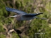 Little Blue Heron 04