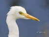 Cattle Egret 01