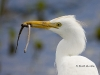 cattle-egret-02