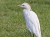 Cattle Egret 03