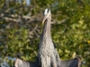 Great Blue Heron 03
