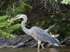 Great Blue Heron 08