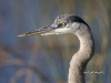 Great Blue Heron 20