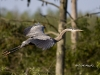 Great Blue Heron 31