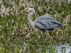 Great Blue Heron 32