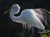 great-egret-01