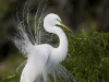 great-egret-04
