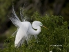 great-egret-05