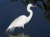great-egret-06