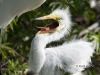 great-egret-07