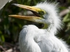Great Egret 08