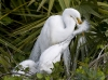 Great Egret 11