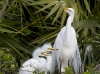 great-egret-12