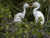 Great Egret 13