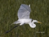 Great Egret 22