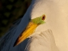great-egret-23