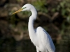 great-egret-24