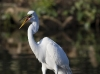 Great Egret 25