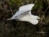 Great Egret 26