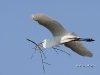 Great Egret 27