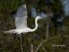 Great Egret 28
