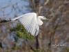 Great Egret 29