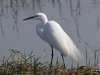 Great Egret 31