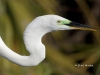 Great Egret 32
