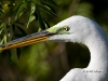great-egret-33