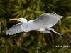 great-egret-34