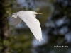 great-egret-35