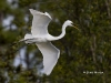 great-egret-36