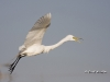 Great Egret 37