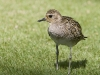 Pacific Golden Plover 01