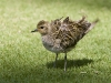 Pacific Golden Plover 02