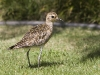 Pacific Golden Plover 03
