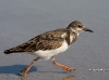 Ruddy Turnstone 01