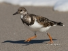 Ruddy Turnstone 02