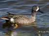 Blue Wing Teal 02