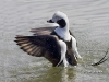 Long Tailed Duck 01