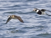 Long Tailed Duck 06