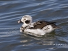 Long Tailed Duck 07